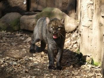 Zvieratá z Brazílie  Jaguár