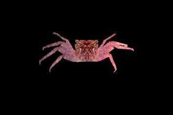 Fialový krab pavúkovitý nájdený v Indii