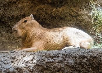 Kapybara močiarná