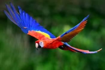 Zvieratá z Dažďového pralesa  Ara arakanga