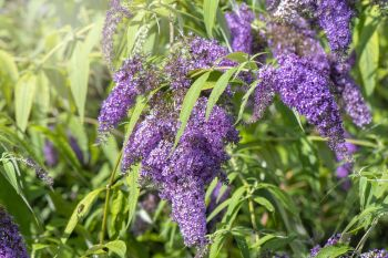 Kvitnúci ker Rastliny do záhrady