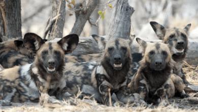 Zvieratá z Afriky Pes hyenovitý (divoký) v Keni