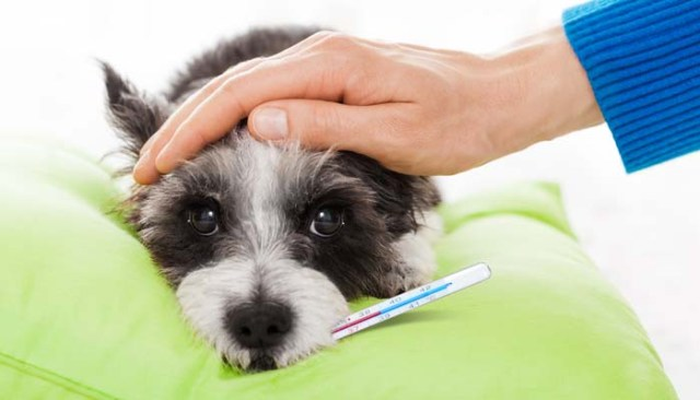 How to Take Dog Temperature Without Thermometer