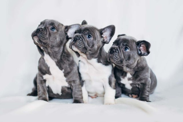 French Bulldog puppies as cutest dogs alive