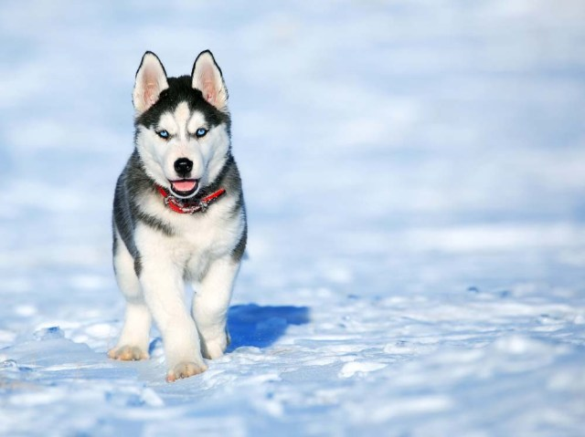 Siberian Husky puppy as the cutest dog breed