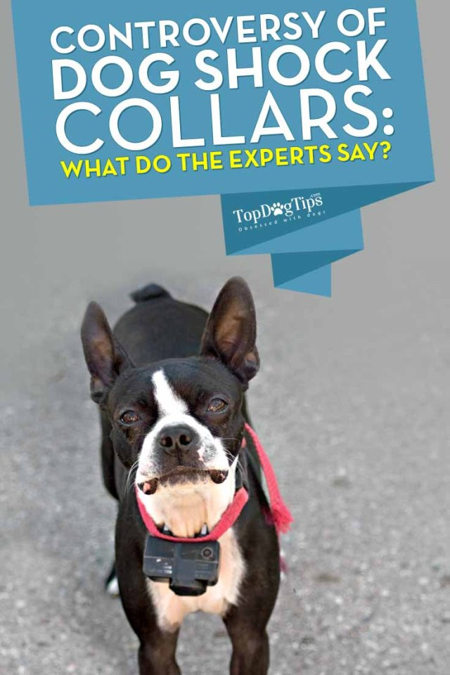 Dog Shock Collars Controversy - What Do the Experts Say