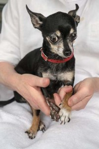 How to use a dog nail clipper