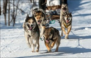 Alaskan Dog Sled Race Diverted by Warm Weather