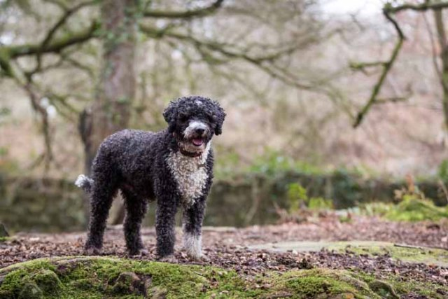 Best Small Dogs for Kids American Water Spaniel