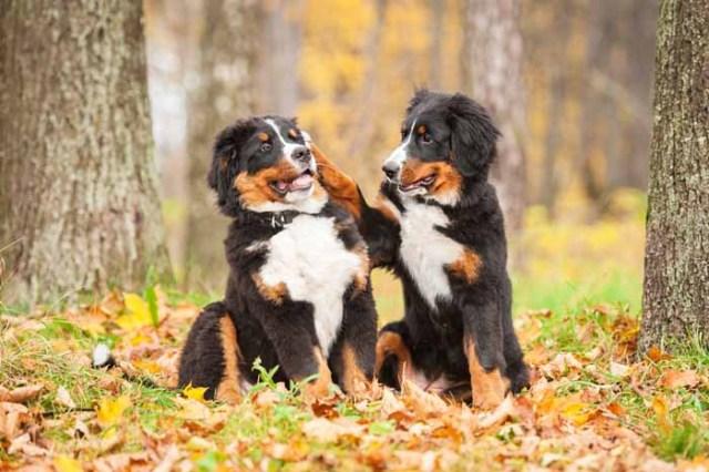 Best Small Dogs for Kids Appenzeller Sennenhund