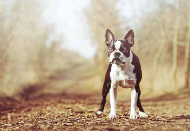 Best Small Dogs for Kids Boston Terrier