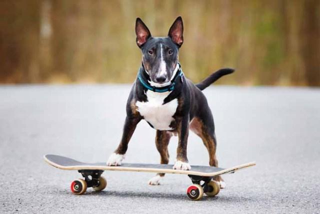 Best Small Dogs for Kids Bull Terrier