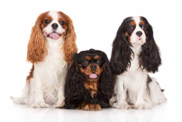 Best Small Dogs for Kids Cavalier King Charles Spaniel