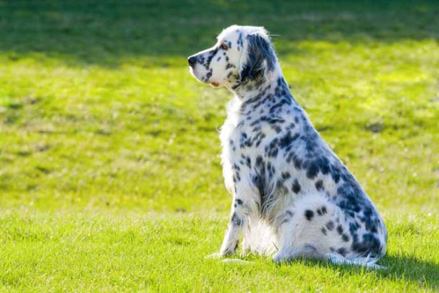 Best Small Dogs for Kids English Setter