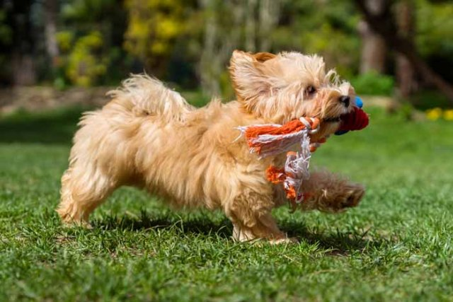 Best Small Dogs for Kids Havanese