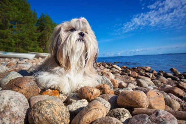 Best Small Dogs for Kids Shih Tzu