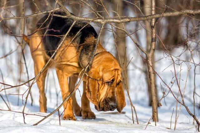 Bloodhound - Best Hunting Dog