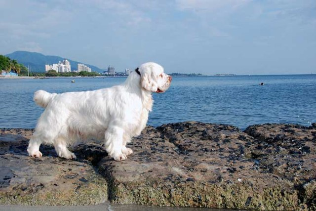 Clumber Spaniel - Best Hunting Dog
