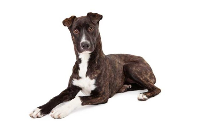 Mountain Cur - Best Hunting Dog