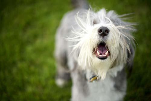 Dog Excessive Barking