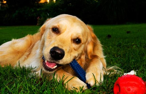 Nylabone Recalls Dog Chews For Possible Salmonella Threat