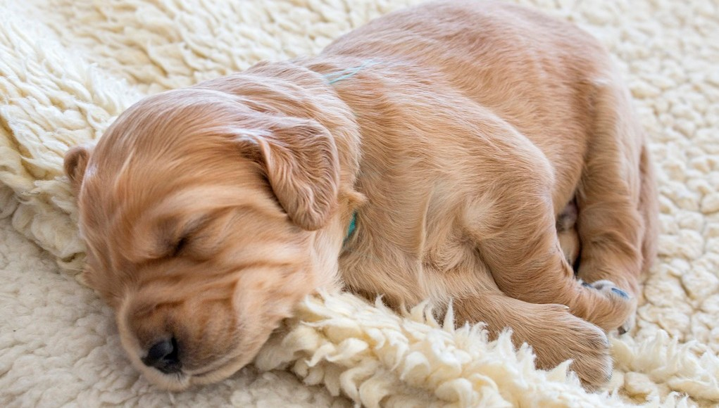 How to Ensure Good Sleep for Puppies