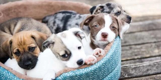 how to buy puppies in breeder