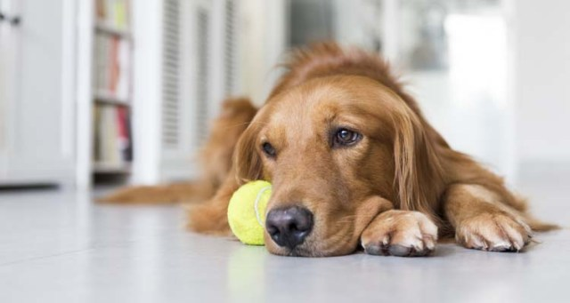 Depressed Pets - How to Help a Dog with Depression
