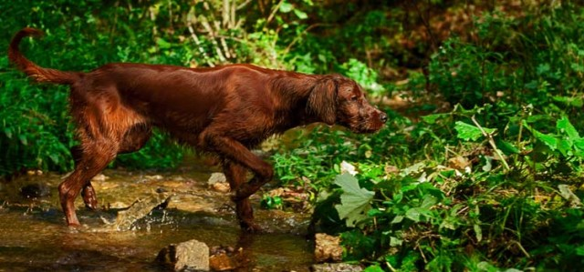 What Are Breaking Scents for Hunting Dogs