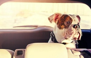 Do You Want to Be A Doggy Chauffeur