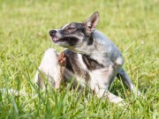 Natural Home Remedies for Fleas and Ticks