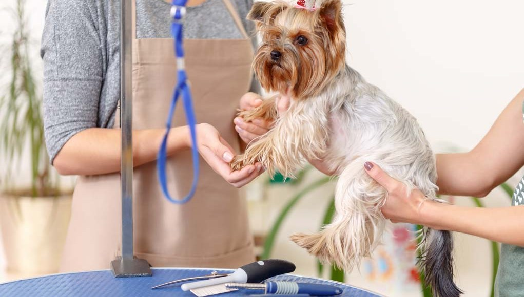 Professional Dog Grooming and Being a Pro Dog Groomer