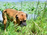 Does My Dog Eat Grass Because He Needs To or Likes To
