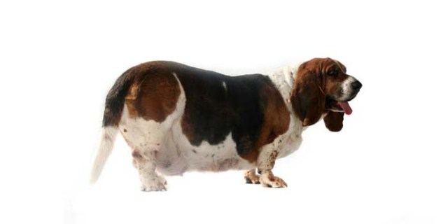 The Risks of Canine Obesity and How To Keep Your Dog Fit 2