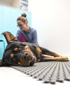 Chiropractic treatment for dogs