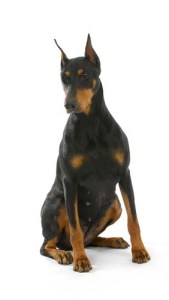Doberman Pinscher - Most Common Dog Breed Stereotypes DEBUNKED