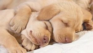 Sleeping with a Buddy Dog Sleeping Position