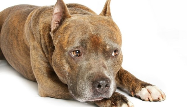 What is this pit bull doing to fight the breed's bad rap
