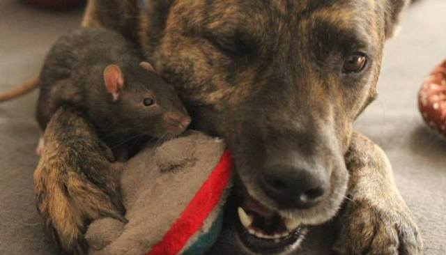 Dog and Rats Are BFFs - You've Got to See This Video