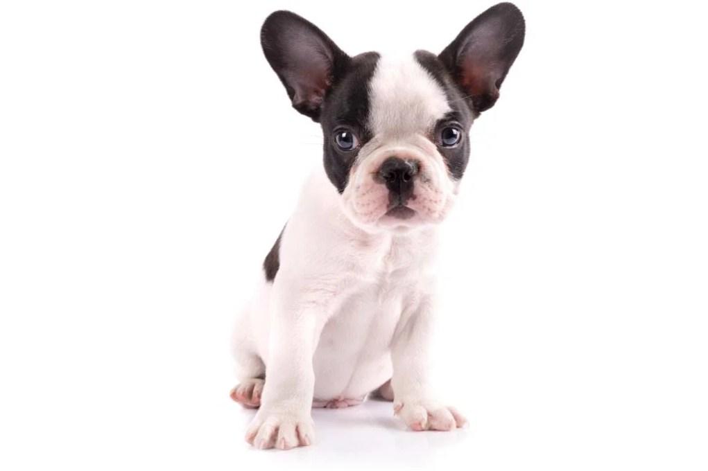 French Bulldog Breeds
