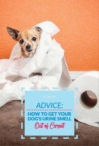 How to Get Dog Urine Smell Out of Carpet  Top Dog Tips