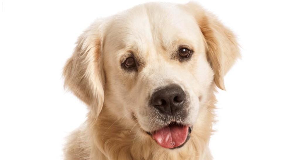 Labrador dog profile
