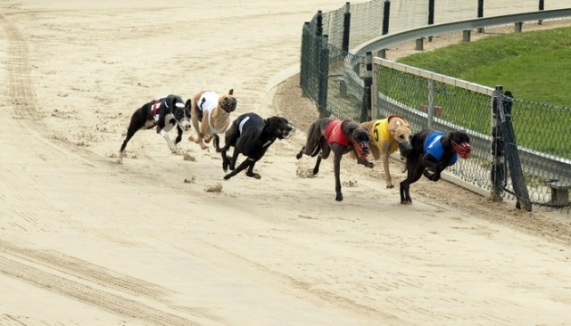 The Races End Leaving Hundreds of Greyhounds Homeless