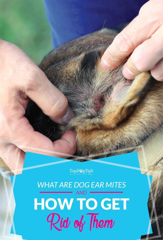 What Are Dog Ear Mites