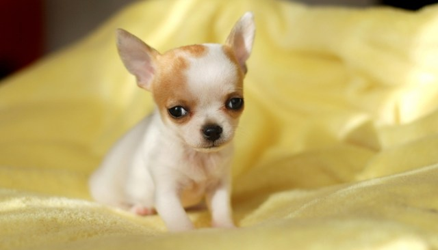 World's Smallest Dog Defies the Odds