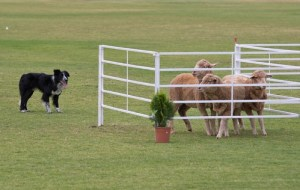 Sheepdog Trials with dogs