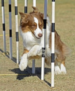 Agility training with dogs