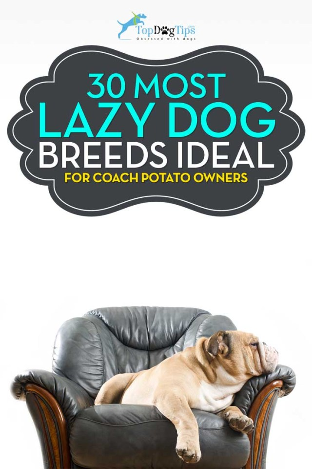 Most Lazy Dog Breeds Perfect for a Couch Potato Owner