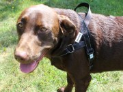 How To Measure For and Choose the Right Dog Harness