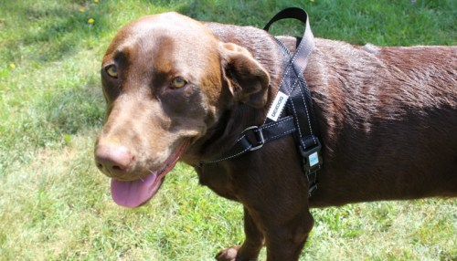 Choosing Among Different Types of Dog Harnesses